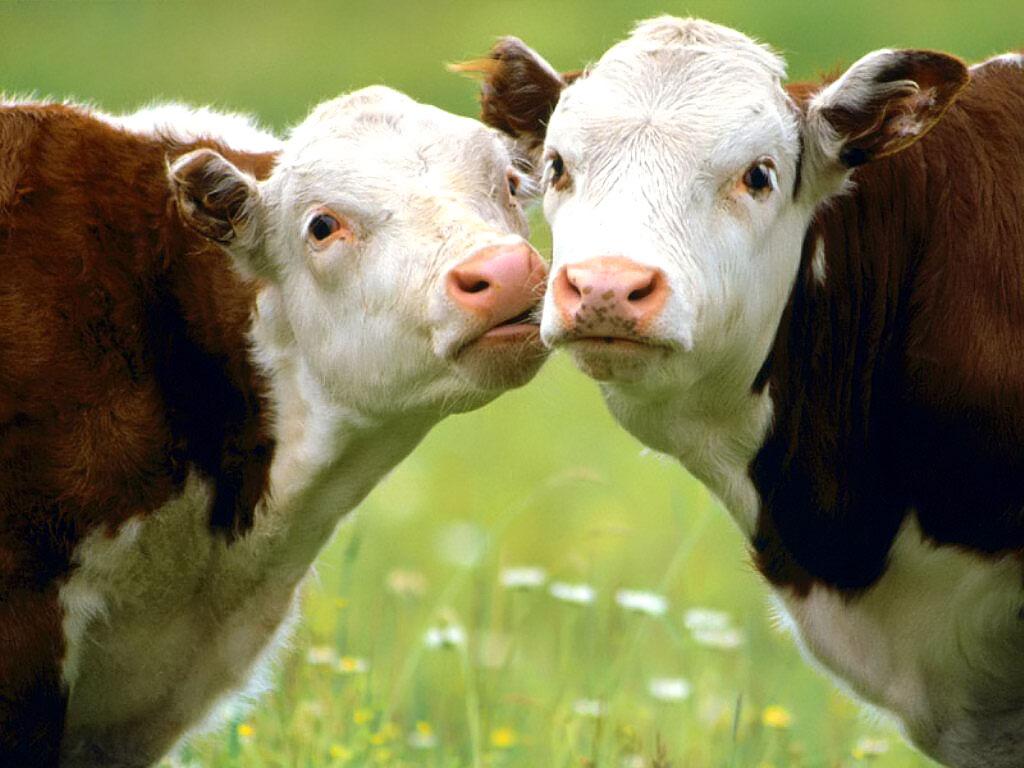 verliefde koeien